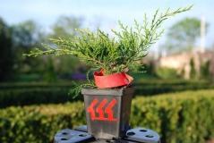 Juniperus pfitzeriana Old Gold