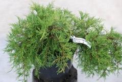 Ялівець середній Олд Голд / Juniperus pfitzeriana Old Gold