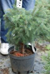 Picea omorika (стрижка Гніздо)