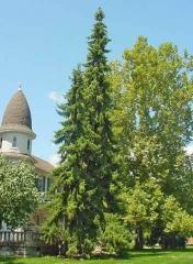 Ялина сербська (Оморіка)