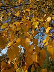 Betula pendula розсадник декоративних рослин