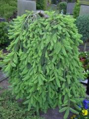Ялина звичайна плакуча Інверса (перевернута) <br> Ель обыкновенная плакучая Инверса (перевернутая) <br>  Picea abies Inversa