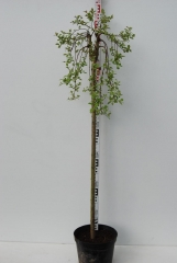 Верба козяча Кілмарнок (плакуча) на штамбі 120см