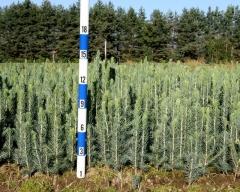 Picea Pungens Glauca 'Kaibab', 'Arizona' Посадка сіянців