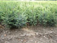 Picea 'Kaibab', 'Arizona'