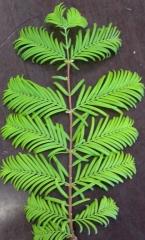 Метасеквойя гліптостробусова (метасеквойя китайська) Metasequoia glyptostroboides