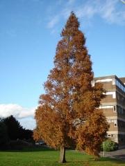 Метасеквойя осінь