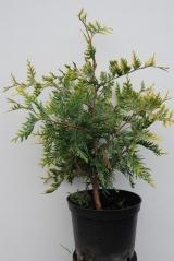 Туя західна Ауреоспіката / Thuja occidentalis Aureospicata