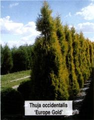 Туя західна Єуроп Голд <br> Туя западная Еуроп Голд <br> Thuja occidentalis Europe Gold