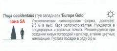 Туя жовта Єуроп Голд