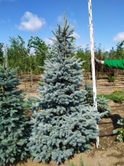 Picea pungens Glauca 10років