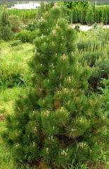 Сосна білокора <br> Сосна белокорая <br> Pinus leucodermis