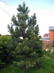 Сосна чорна / австрійська <br> Сосна черная / австрийская <br>  Pinus nigra / austriaca