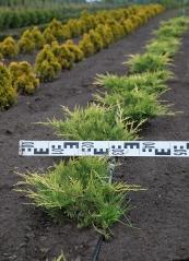 Ялівець середній / пфітцеріана Олд Голд діаметр рослини 40см