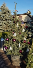Picea omorika фото