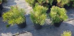 Сосна гірська Пуміліо / Pinus mugo Pumilio