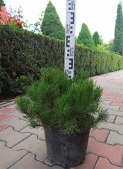 Pinus mugo 'Pumilio' опис