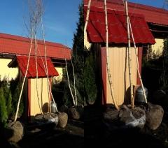 Береза бородавчата двостовбурова (ком)