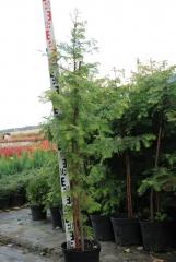 Метасеквойя гліптостробусова / китайська / Metasequoia glyptostroboides