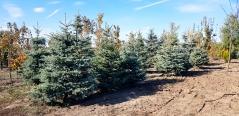 Picea pungens Glauca посадка