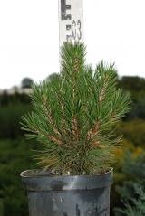 Сосна білокора (Pinus leucodermis)