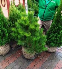 Pinus nigra купити Київ