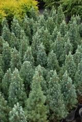 Ялина канадська  Сандерс Блю висота рослини 50см