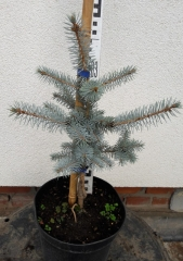 Ялина колюча Едіт висота рослини 40см