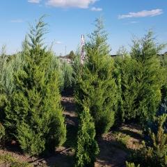 Juniperus Сanaertii опис
