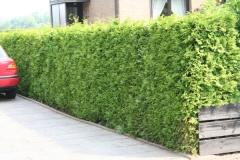 Thuja occidentalis не дорога вічнозелена рослина для живих огорож.