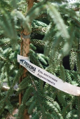 Picea orientalis Aureospicata 7л