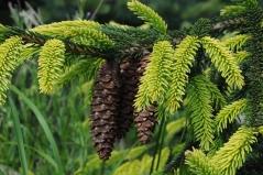 Picea orientalis Aureospicata Київ