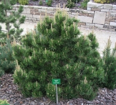 Сосна горная Гном Pinus mugo Gnom