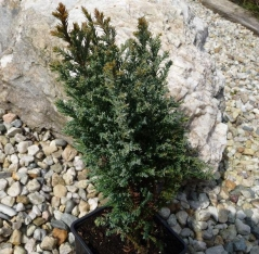 Кипарисовик лавсона Snow White Chamaecyparis lawsoniana Snow White