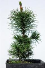 Сосна остиста / Pinus aristata саджанець