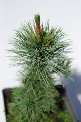 Pinus aristata (Сосна остиста) в контейнері