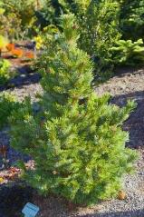Pinus aristata купити Київ