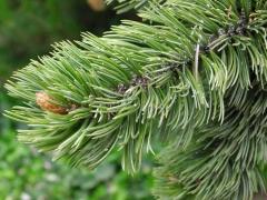 Сосна остиста (Pinus aristata) забарвлення хвої