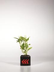 Гортензия крупнолистная Нико Блю Hydrangea macrophylla Nikko Blue возраст 2 года
