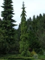 Ялина звичайна / європейська Ротенхаус <br>Ель обыкновенная / европейская Ротенхаус <br>Picea abies Rothenhaus