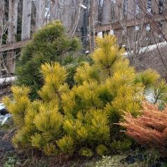 Сосна гiрська Голден Глоу <br> Сосна горная Голден Глоу <br> Pinus mugo Golden Glow
