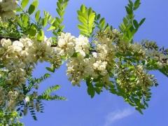 Робінія псевдоакація цвітіння