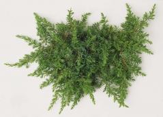 Ялівець звичайний Green Mantle