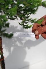 Ялівець звичайний Грінмантл плакучий штамб 0,9-1,05м