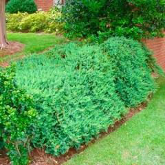 Ялівець звичайний Greenmantle/Green Mantle