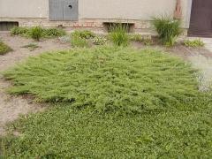 Ялівець звичайний Greenmantle