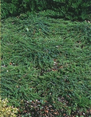 Juniperus communis Greenmantle