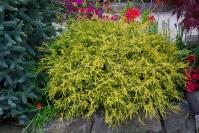 Кипарисовик горіхоплідний Філіфера Ауреа Нана <br> Кипарисовик горохоплодный Филифера Ауреа Нана <br> Chamaecyparis pisifera Filifera Aurea Nana