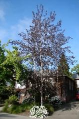 Береза повисла Роял Фрост<br>Betula pendula Royal Frost<br>Береза повислая Роял Фрост