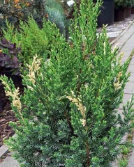 Ялівець китайський Стрікта Варієгата <br> Можжевельник китайский Стрикта Вариегата <br> Juniperus chinensis Stricta Variegata